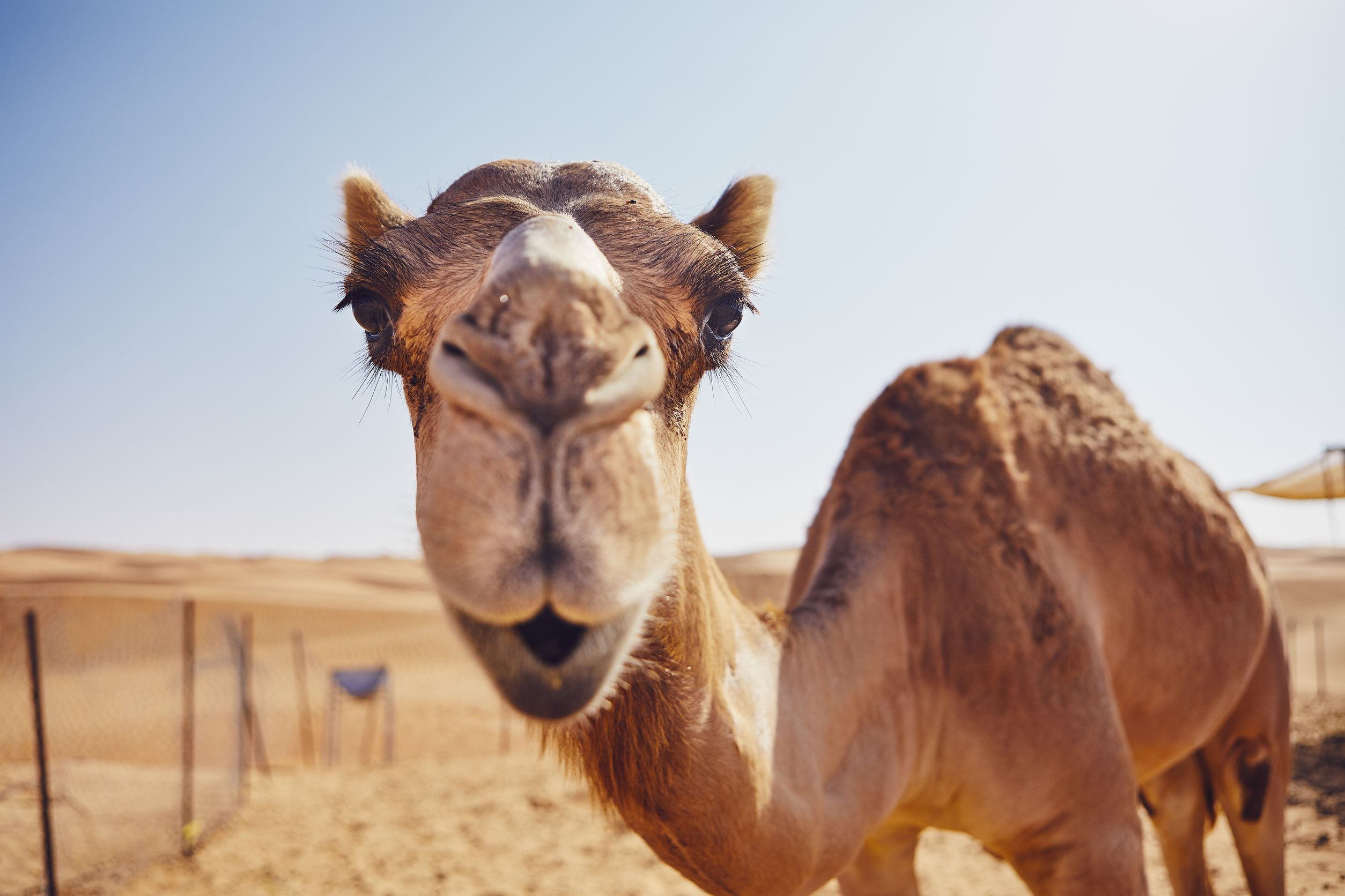 Curious camel in desert
